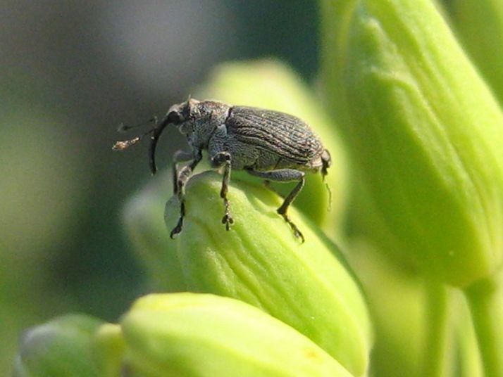 Des analyses moléculaires sont effectuées tous les ans pour identifier les mutations conférant aux coléoptères une résistance aux pyréthrinoïdes. Ce qui permet aussi d'en voir l'évolution.