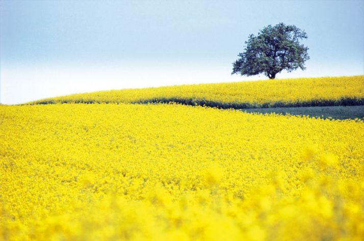 En France, environ deux tiers de l'huile obtenue à partir de graines de colza sont destinés à la filière biodiesel. © Frederic Bitsch / Fotolia