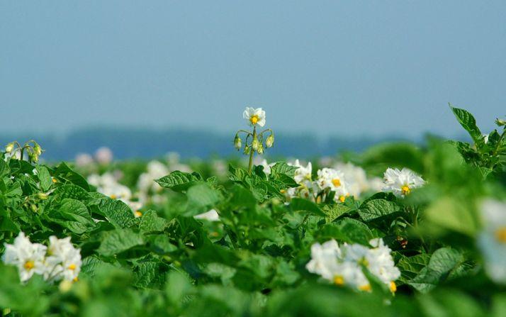 Le contrôle des adventices reste un enjeu majeur pour les producteurs de pommes de terre. Une bonne connaissance de la flore et de son niveau d'infestation sont indispensables pour intervenir au bon moment avec efficacité.