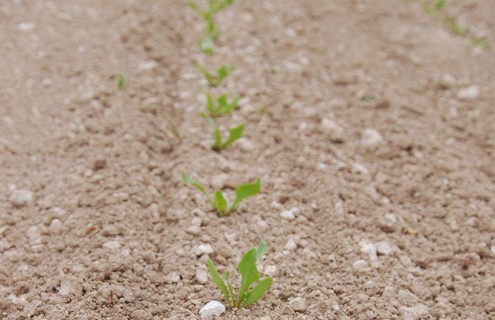 Alors que les betteraves sont encore à un stade précoce, la pression pucerons verts est à son maximum. L'année 2020 risque d'ores et déjà d'établir un nouveau record vis-à-vis de ce ravageur. Photo :M. Lecourtier / Pixel6TM