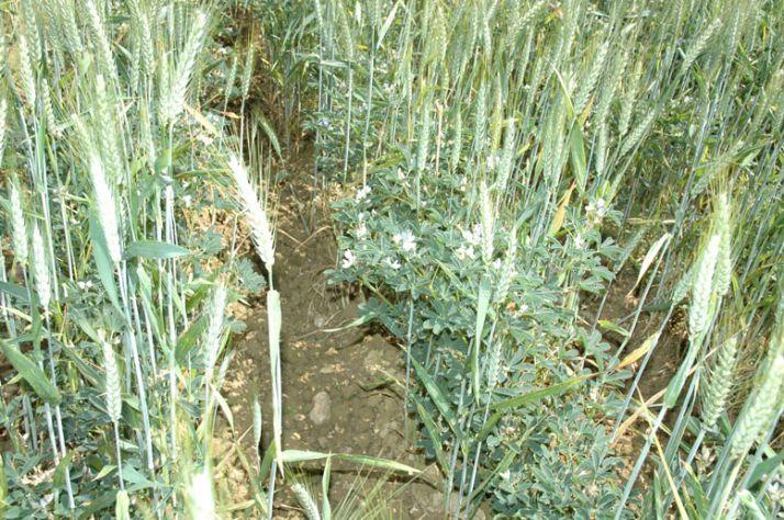 Lupin associé à du blé. O. Lévêque/Pixel Image