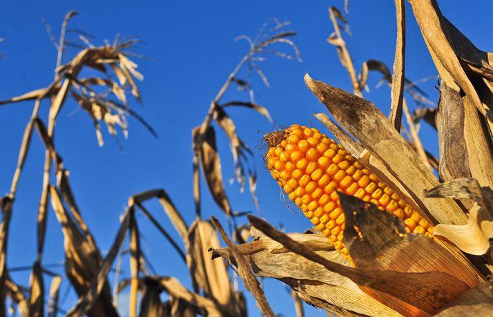 Les travaux ne mettent pas en évidence d'effet lié à la consommation de maïs OGM sur les rats. © M.Barbier / Pixel Image