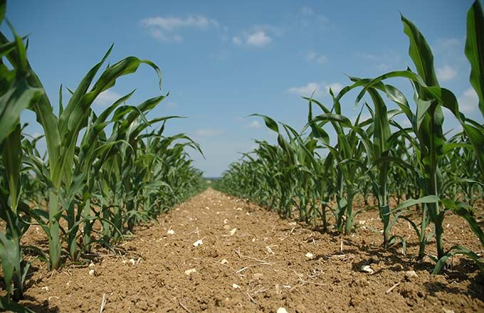 La génétique supplante les exigences de semis. © H.Grare/Pixel image