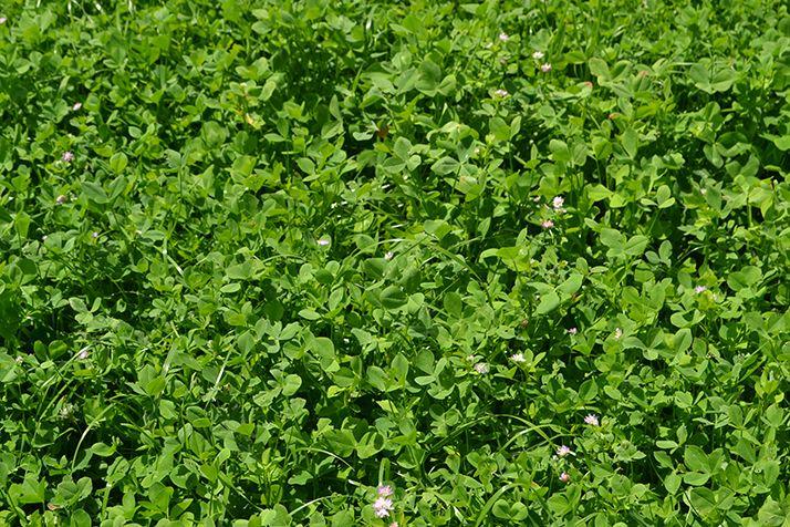 Les couverts végétaux rendent les éléments nutritifs biodisponibles. © C.Lamy-Grandidier/Pixel 6TM