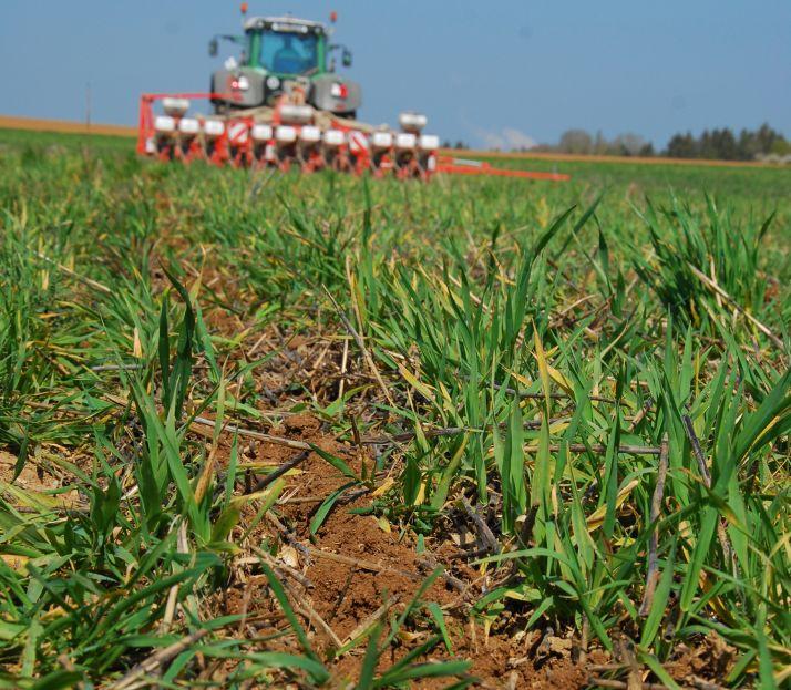 Le semis est réalisé dans l'orge de printemps vivante semée à l'automne précédent qui sera détruite avec le premier désherbage des betteraves.