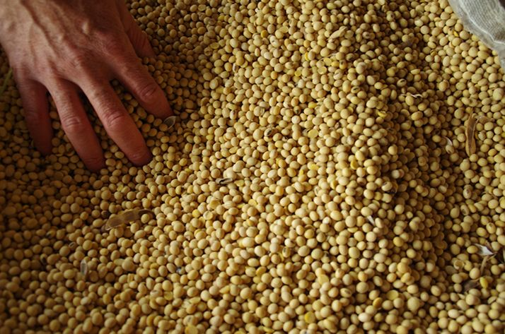 La production française de soja couvre près de 40% de la consommation nationale. © Pixel6TM