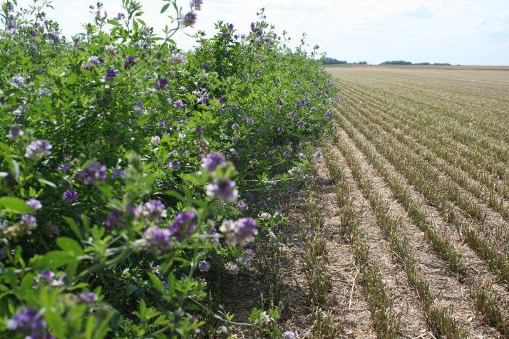 Les abeilles et les papillons sont les espèces qui ont le plus profité des bandes non fauchées. La luzerne constitue, pour eux, une importante ressource alimentaire. Photo : DR.