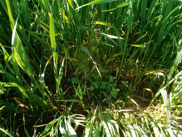 Levée du blé dans le trèfle. ©E. Massou