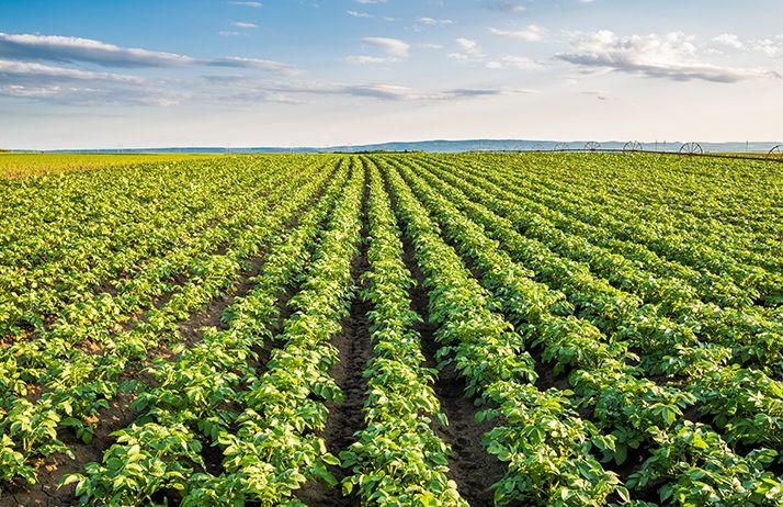 Il faut maîtriser les surfaces de pommes de terre pour la campagne 2020. © Oticki/Adobe Stock