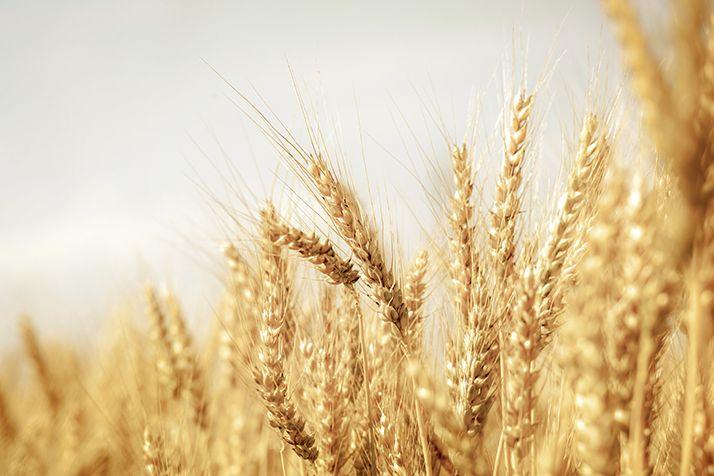 Des exportations records de blé tendre, mais le stock final s'alourdit. © Andrey Volokhatiuk/AdobeStock