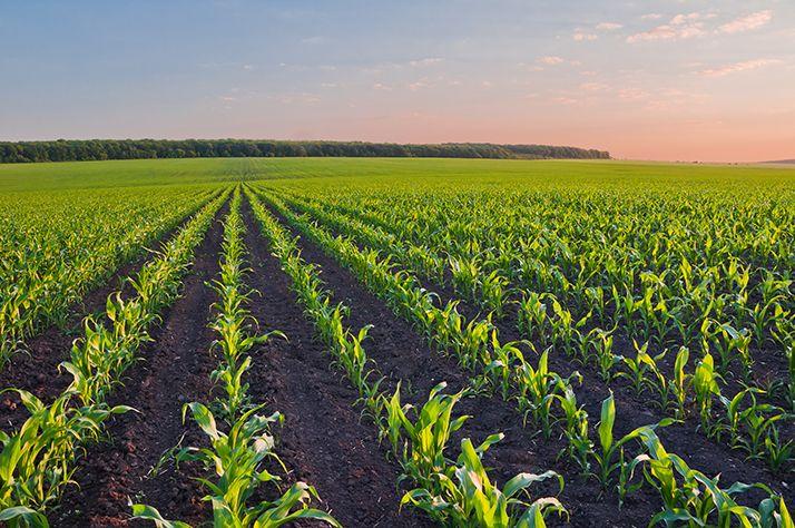 Les maïsiculteurs européens dénoncent une Europe sur la voie de la décroissance. © Physyk/Adobe Stock