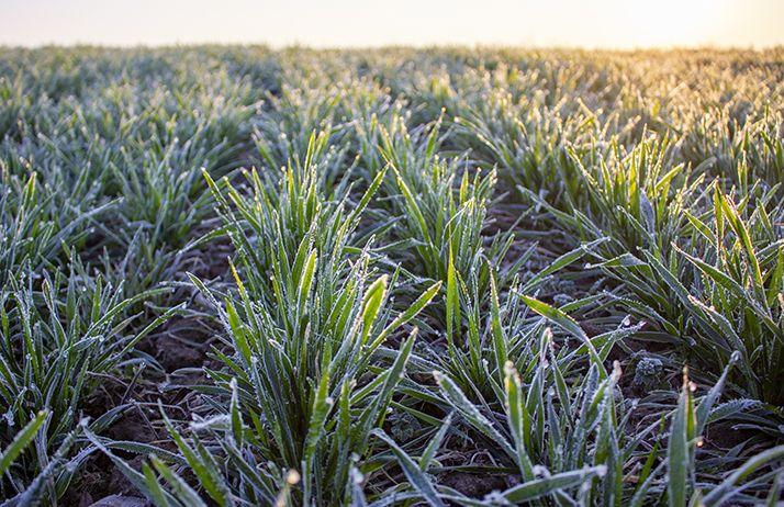 Des risques de dégâts localisés sur céréales pour les gelées de début avril. © Malshak_off/Adobe Stock