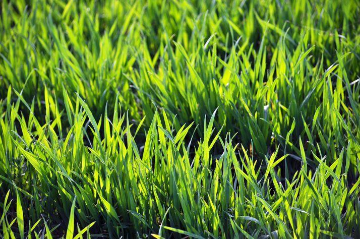 Des nouvelles variétés de blés hybrides adaptées au contexte pédoclimatique du nord de la France devraient être candidates à l'inscription au CTPS dès l'automne prochain a annoncé la firme Syngenta France.