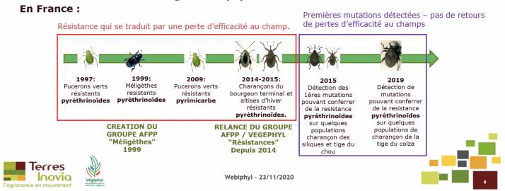 Quasiment tous les coléoptères ravageurs du colza présentent des populations résistantes aux pyréthrinoïdes. Photo : Terres Inovia