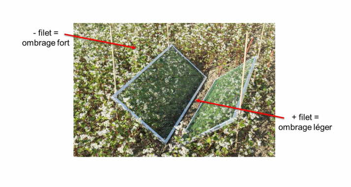 Agroscope a mené des essais pour vérifier si l'ombrage créé par le couvert végétal est la seule explication au moindre développement des adventices. Photo : Agroscope
