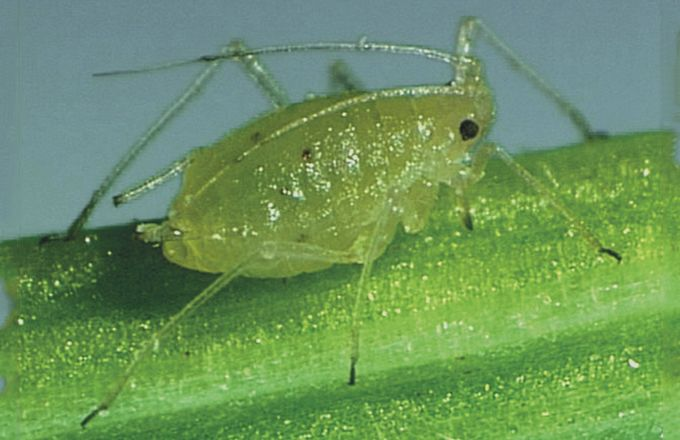Seule représentante d'une nouvelle famille chimique, les sulfoximines, et dotée d'un mode d'action unique, Isoclast™ Active présente l'avantage d'être efficace sur les ravageurs à faible dose, y compris sur insectes déjà résistants. ©Dow Agrosciences