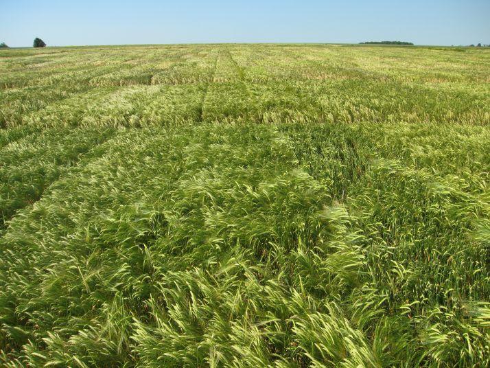 Secobra Recherches a relancé le protocole sur 7 variétés d'orge d'hiver et 10 variétés d'orge de printemps.