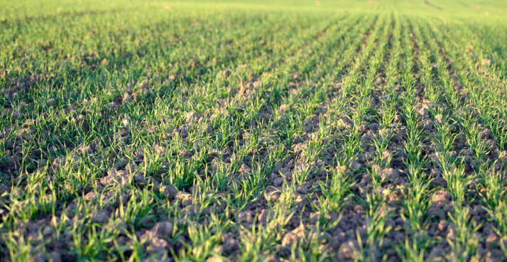 Nessie®, nouvel anti-dicot céréales. © X BEGUET-ZEFOTO.NET/Fotolia