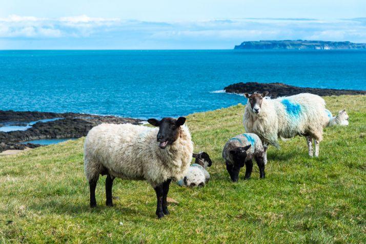 Environ 30% des produits importés des pays tiers font l'objet d'accords particuliers négociés via l'UE. C'est le cas notamment pour les importations d'ovins. © Kernowpjm/Fotolia