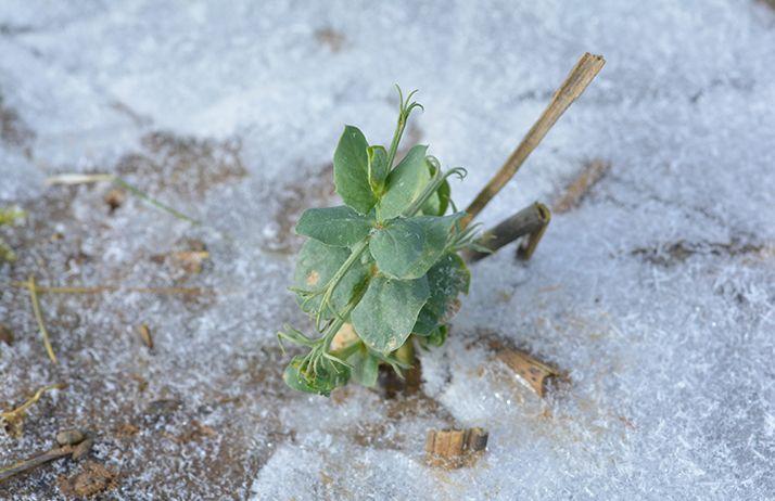 Protéagineux : les cultures semblent avoir bien résisté au froid. © Happyculteur/Fotolia