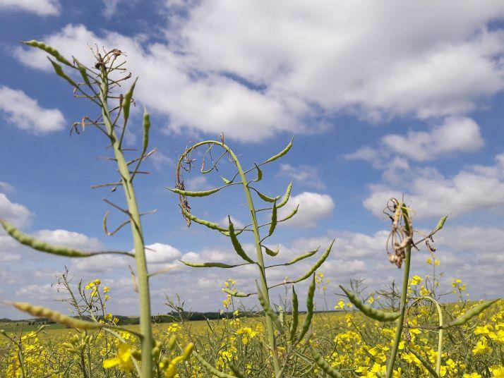 crédit: Terres inovia/ Le gel et la sécheresse ont pénalisé 40% des parcelles de Lorraine
