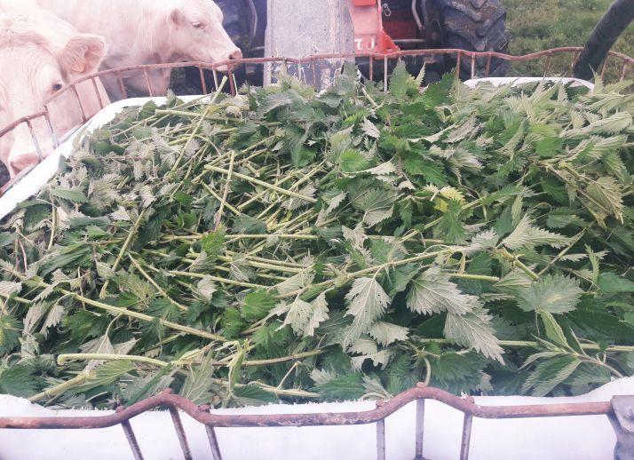 Orties fraichement récoltées en prévision d'une macération.Photo : AgroLeague