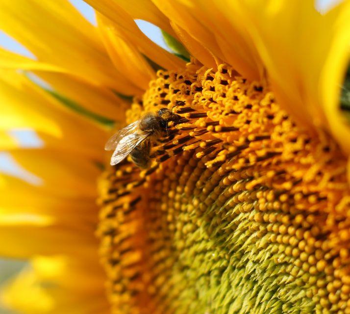 En France, les insectes pollinisateurs représentent 1 000 espèces, dont l'abeille domestique, contre 20 000 espèces dans le Monde.