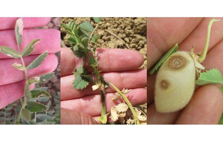 L'ascochytoseapparaît depuis le stade deux feuilles du pois chiche jusqu'à la maturation des grains.© Terre Inovia