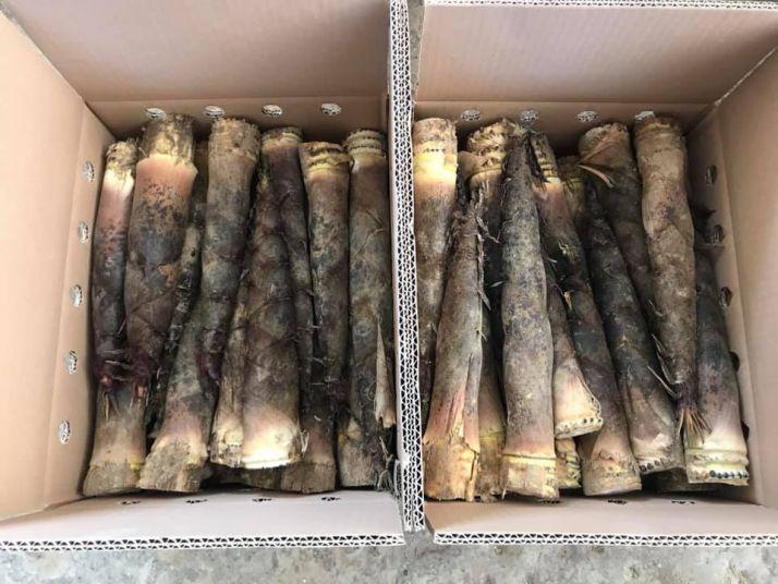 Les pousses de bambou sont récoltées manuellement et répondre à différents débouchés au sein de l'alimentation, de la cosmétique ou de produits pharmaceutiques. Crédit photo : OnlyMoso
