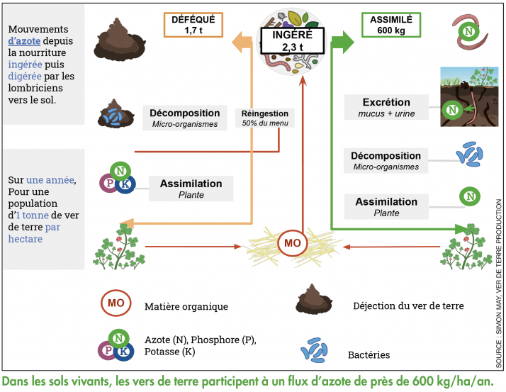 Dans les sols vivants, les vers de terre participent à un flux d'azote de près de 600kg/ha/an.