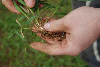 Racines et talles de blé hybride en sortie d'hiver. Crédit : Olivier Lévèque/Pixel6TM