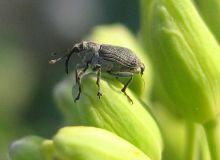 Il est loin d'être le coléoptère affichant le niveau de résistance le plus important des ravageurs du colza, mais le charançon des siliques affiche des statistiques en hausses. Photo :Pixel6TM