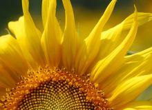 RAGT Semences : de nouvelles variétés de tournesol oléique. © E. Thomas/Pixel image