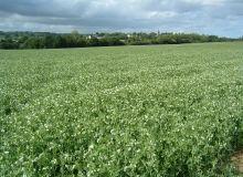 Le pois est une culture appréciée des producteurs pour ses impacts agronomiques dans la rotation, mais pas seulement. Près de 40 % de ceux qui cultivent du pois en Poitou-Charentes Vendée le font aussi pour des raisons économiques.