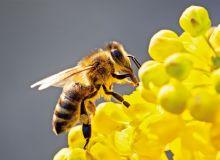 20 % de rendement en plus avec des pollinisateurs. © Fotolia
