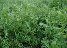 La vesce velue et le radis sont deux des meilleurs candidats au semis à la volée à la fois par la forme de leur graine, qui leur permet une bonne pénétration dans l'air, et leur capacité à germer malgré un contact sol-graine aléatoire. ©Pixel Image