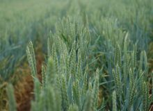 Soleil®, un nouveau T3 pour la protection des blés et des maïs semences. ©H.Grare/Pixel Image