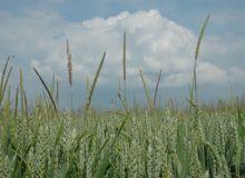 Vulpin dans blé © H. Grare/Pixel Image