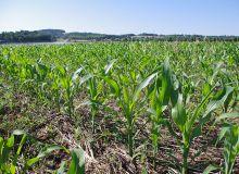 Maïs : bien estimer les doses d'azote à apporter.©J. SIMOES/Pixel image