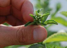 Le stade optimum de récolte se situe au stade bouton floral, quand la teneur en glycoside de stéviol est maximale dans les feuilles. © C. Milou/Pixel image