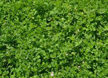 En conventionnel comme en bio, le trèfle blanc assure un très bon contrôle des adventices… au détriment du rendement de la céréale semée dedans. © Pixel image