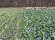 Le pâturage des colza oléagineux est encore peu documenté et de fait difficile à évaluer techniquement. Crédit photo : Laurent Jung – Terres Inovia