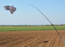 Sous couvert d'orge, le tournesol serait moins impacté par les dégâts d'oiseaux. ©happyculteur/Adobe Stock