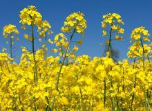 Une floraison contrastée pour le colza. ©Daniel Prudek/Adobe Stock