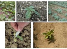 Terres Inovia présente les diverses symptômes des attaques primaires du mildiou du tournesol.