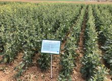 Crédit Hélène Sauvage Média & Agriculture. Agrosolutions, la coopérative Noriap et RAGT semences ont mis en place une plateforme d'essais colza afin de pérenniser sa production