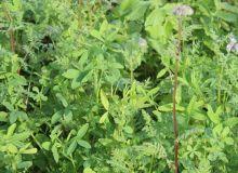 Le mélange Easy.Couv de Caussade Semences (20% de radis chinois + 30% de phacélie + 50% de trèfle d'Alexandrie) se distingue par sa facilité d'implantation et de destruction. © Caussade Semences