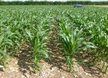 De nouvelles architectures du peuplement du maïs ont été testées, avec des interrangs réduits à 50 ou 60 cm en place des traditionnels écartements à 75 ou 80 cm. © Arvalis Institut du végétal