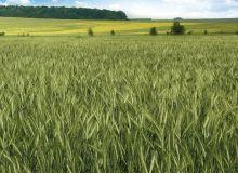 Les particularités du triticale Vivier sont une souplesse en date de semis, une bonne résistance à la rouille brune et à l'oïdium, et un rendement paille élevé. ©Florimond Desprez