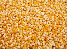 Caussade Semences : 14 nouvelles variétés de maïs. © Jcfotografo/Fotolia